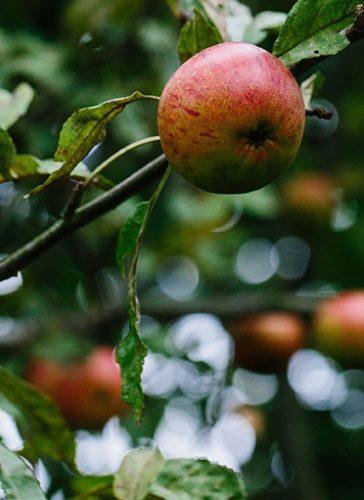 Vilde æbler ved Kær Vestermark
